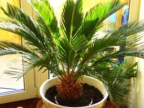 комнатную пальму