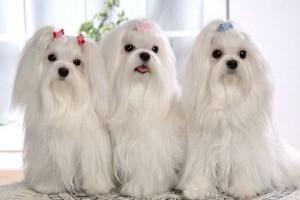 О декоративной породе собак - мальтийской болонке