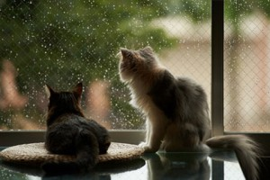 Кошек по праву называют синоптиками